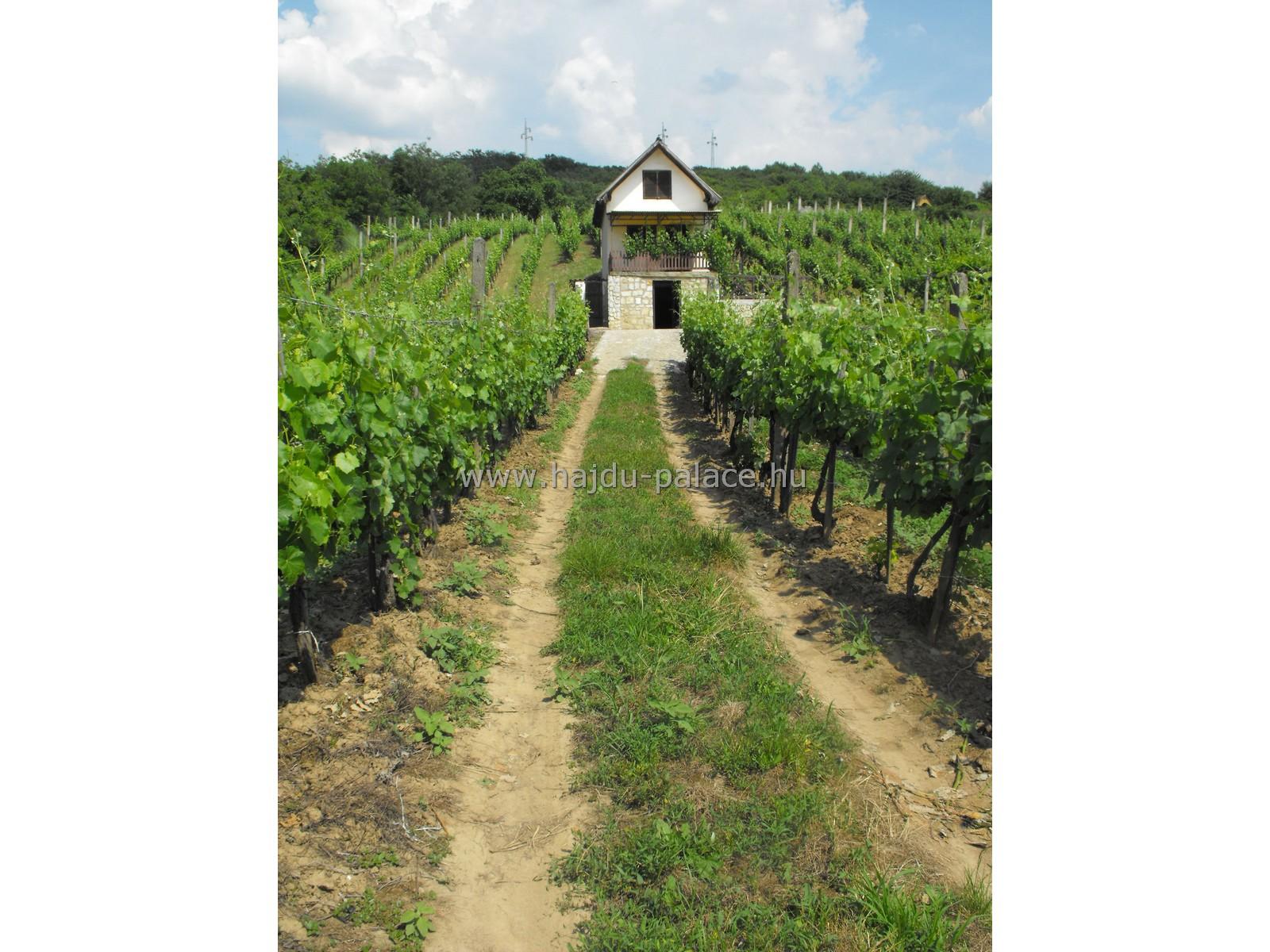 Tarcalon domboldalon 1,1 ha szőlőterület eladó, 3 db pincével terasszal